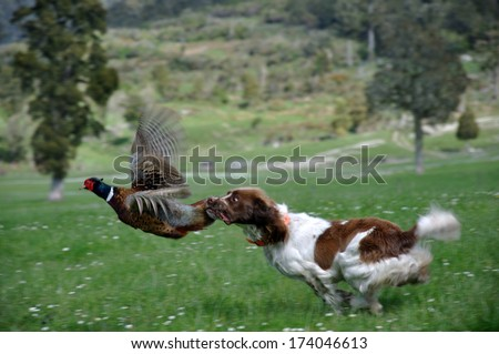 hunting dog latches on to male ring-necked pheasant, Phasianus colchinus. (The bird did escape without much injury) Royalty-Free Stock Photo #174046613