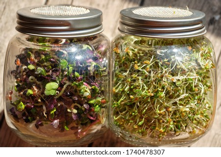 Radish and alfalfa sprouts in two strainer jars. The micro greens are healthy, fresh food. You can grow it at home.