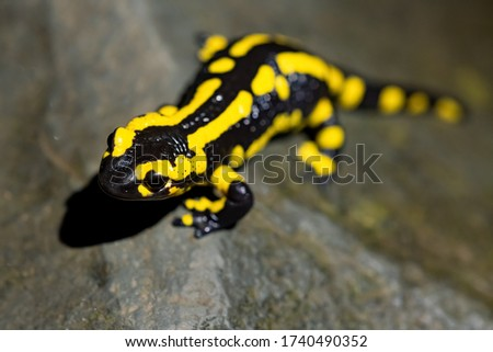 Fire salamander (Salamandra salamandra) is the best-known salamander species in Europe. It is night actice near a creek in a Forest in Iserlohn Sauerland Germany in Springtime.
