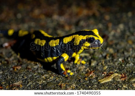 Fire salamander (Salamandra salamandra) is the best-known salamander species in Europe. It is night actice near a creek in a Forest in Iserlohn Sauerland Germany in Springtime. Protected Species