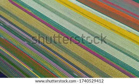 Top down Aerial drone shot of tulip fields in the Netherlands, Lisse