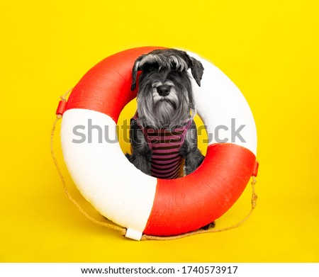 dog. miniature schnauzer. posing in the studio on a yellow background. sailor in a life buoy. sea wolf #1740573917