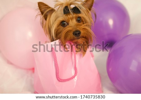 Yorkie puppy in pink gift bag with pink and purple balloons