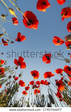 Red poppies. Landscape with red poppies. Poppy field. Bottom view of the blue sky with a copy of the text space. The image can be used for posters, posters, and Wallpaper.