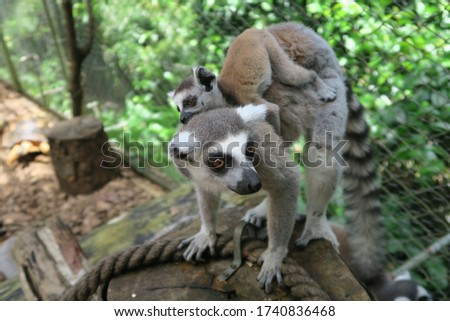 Close up of lemur mother and baby on her back on tree trunk in La vanille natur park