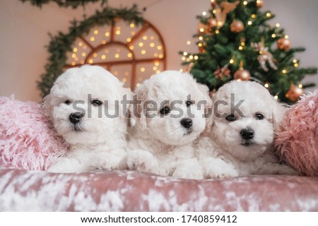 Bichon frise puppies on pink velvet blanket with Christmas tree lights and decorations in the background. Three cute adorable white pups together at the new year celebration. Royalty-Free Stock Photo #1740859412