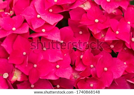 A beautiful picture of pink poinsettias