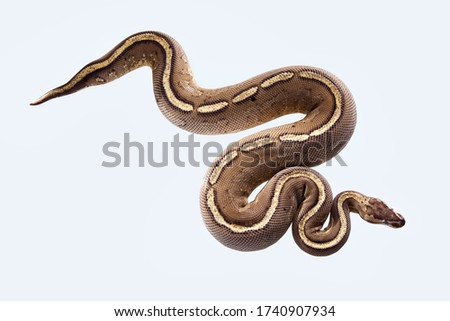 african ball python or royal python or python regius snake isolated on a white background with clipping path