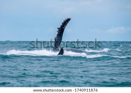 Humpback Whale photographed in Vitoria, Capital of Espirito Santo. Southeast of Brazil. Atlantic Ocean. Picture made in 2019.
