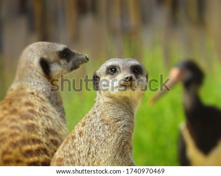 close-up of  meerkat with blur meerkat and background