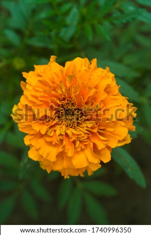 Beautiful orange marigold (Tagetes erecta, Aztec marigold, indian marigold) in garden. Top view of a single isolated orange marigold flower with dense green leaves background. #1740996350