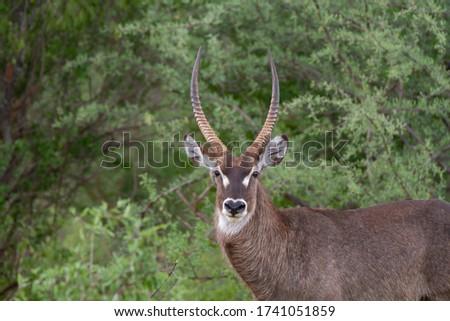 Antelope close up infront of trees in Kenya. #1741051859