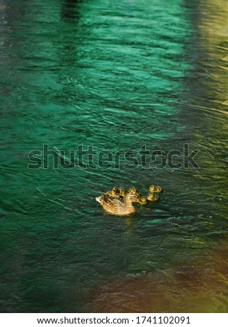 Vertical picture of duck with cute ducklings, duck babies, following mother, lake, symbolic figurative harmonic peaceful animal family portrait following team grouping together group safety harmony