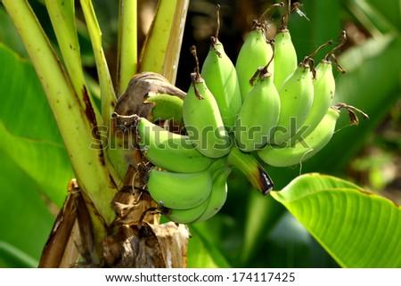 Banana bunch on tree in the garden,Thailand #174117425