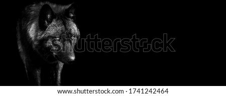 Template of black wolf in B&W with black background Royalty-Free Stock Photo #1741242464