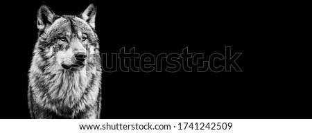 Template of grey wolf in B&W with black background
