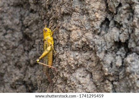 Yellow desert locust posed on a tree. Vertical picture, profile, contrasted colors. Close up eyes detail. Solitary individual seen at Mary river close to Kakadu, Northern Territory NT, Australia