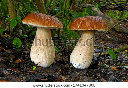 Close-up picture of mushroom, This mushroom is known world-wide as one of the best edibles. It is called the cep in France, the Steinpilz in Germany, porcini in Italy