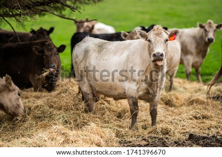 cattle grazing on grass and hay. #1741396670