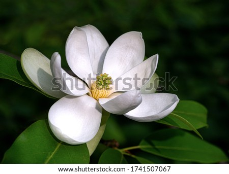 Flower of sweetbay magnolia  (Magnolia virginiana), a small tree native to the Atlantic and Gulf coasts of the United States.