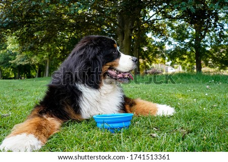 Bernese Mountain Dog lying on the grass in the park. Blue collapsible silicone bowl with water near his paws.   Royalty-Free Stock Photo #1741513361