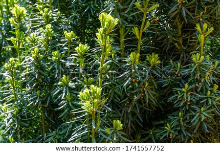 Yew Taxus baccata Fastigiata Aurea (English yew, European yew) new bright green with yellow stripes foliage in spring garden as natural background. Selective focus. Nature concept for design #1741557752