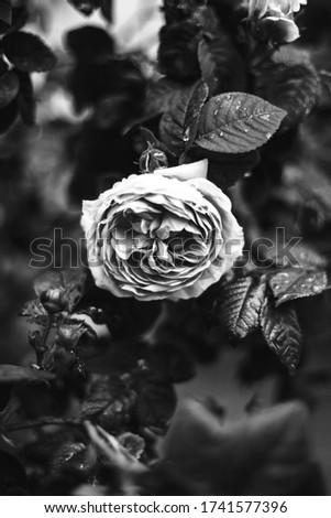 Beautiful rose in rainy weather. Nature background image.Pink rose bush. Pink Flowering Plants.Black and white photo of a rose  #1741577396