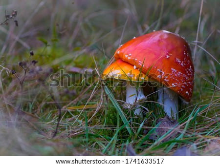 two red fly agaric in the grass #1741633517