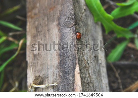 Close up picture of small red ladybug on the piece of tree in the grass as natural concept with wildlife concept wallpaper macro wold from the camera in the forest and small insects on wood