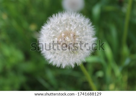 Picture in macro with white dandelion on green, grass background