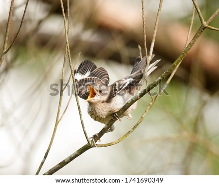 A fledgling mockingbird with beak wide open squawking for food