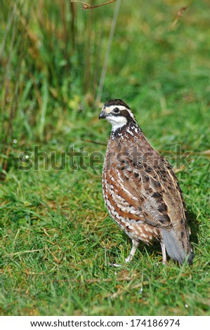 male Northern Bobwhite, Virginia Quail or Bobwhite Quail, Colinus virginianus, a ground-dwelling bird native to the United States, Mexico, and the Caribbean, and a favourite with gamebird shooters. #174186974