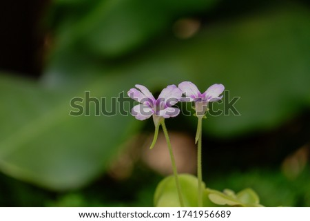 Pinguicula or Butterwort plant. Carnivorous flower background #1741956689