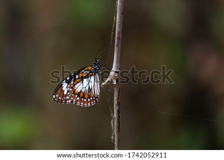 Swamp tiger butterfly. Scientific name: Danaus affinis. Close up picture of alive colorful butterfly posed on a stick. Pictured at Mary river close to Kakadu, Northern Territory NT, Australia.