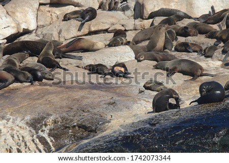 Cape fur seals, Arctocephalus pusillus pusillus, Seal Island, False Bay, South Africa; an individual  bearing fresh bite wounds from a great white shark, can be seen at the center of the picture
