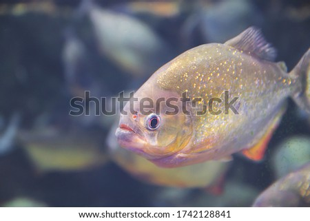 Close up picture of piraña fish on dark background as wildlife wallpaper with tropical animal with copy space idea which located in aquarium and imitate ocean river life underwater macro and angry