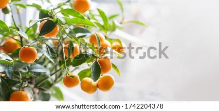 Mandarin tree with ripe fruits. Mandarin orange tree. Tangerine. Branch with fresh ripe tangerines and leaves image. Satsuma tree picture, soft focus. Oranges.