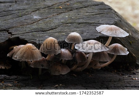 Close-up picture of mushroom, Coprinopsis atramentaria, commonly known as the common ink cap or inky cap, is an edible (but sometimes poisonous, when combined with alcohol).