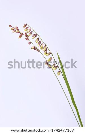 Briza media grass on a white background. Perennial Common Quaking Grass - Briza media Calcareous Grass. Spikes of the common quaking grass. Royalty-Free Stock Photo #1742477189