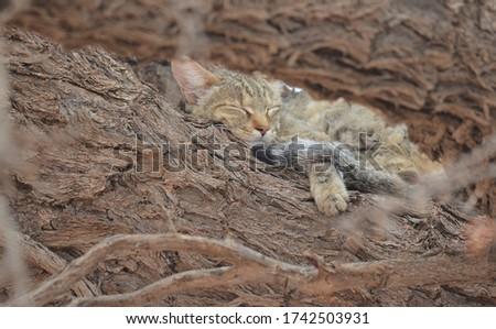 African wildcat sleeping in a tree #1742503931