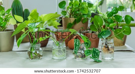Urban Jungle, repotting or potting houseplants - interior trend with potted plants Royalty-Free Stock Photo #1742532707