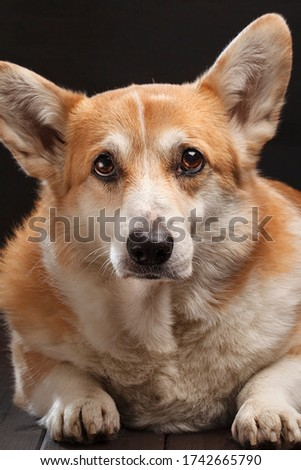 sad yellow Corgi looks ahead of itself
