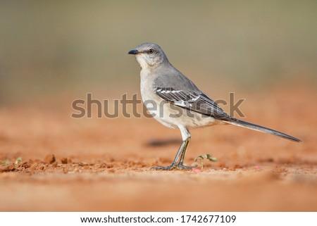 Northern Mockingbird (Mimus polyglottos), South Texas, USA