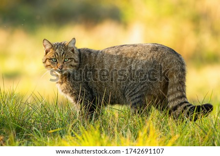 Alert european wildcat, felis silvestris, standing on grassy meadow and looking into camera in summer at sunset. Attentive mammal predator with stripes in fur standing in nature from side view. Royalty-Free Stock Photo #1742691107