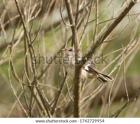 The art of camouflage: a fledgling mockingbird blends into the color and pattern of bare tree branches