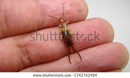 Earwig on finger, hand on white background. Earwigs will use their pincers to defend themselves. close up of earwigs. closeup earwigs animals, animal, bugs, bug, insects, insect, wildlife, wild nature