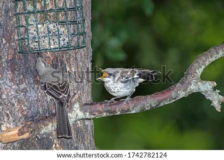 Northern Mockingbird chick begging for food