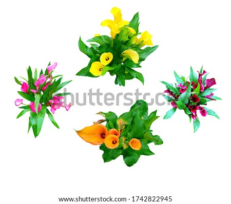 "Picture of  beautiful ornamental plants, it's name ""Calla Lily"" they are colorful of yellow, orange, pink and red, placed on a white background"