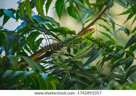 Small Indian Rat snake on the neem tree branch with Green neem leafs .The snake head and eyes are visible.The rat snake is a species of colubrid snake endemic to Southeast Asia. Royalty-Free Stock Photo #1742891057