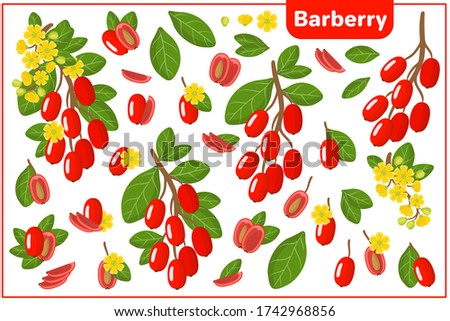 Set of vector cartoon illustrations with whole, half, cut slice Barberry exotic fruits, flowers and leaves isolated on white background Royalty-Free Stock Photo #1742968856